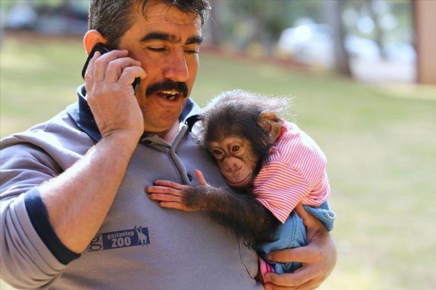 Gaziantep Hayvanat Bahçesi'nin son sakinlerinden 6 aylık minik şempanze Can, kısa sürede herkesin ilgi odağı oldu.