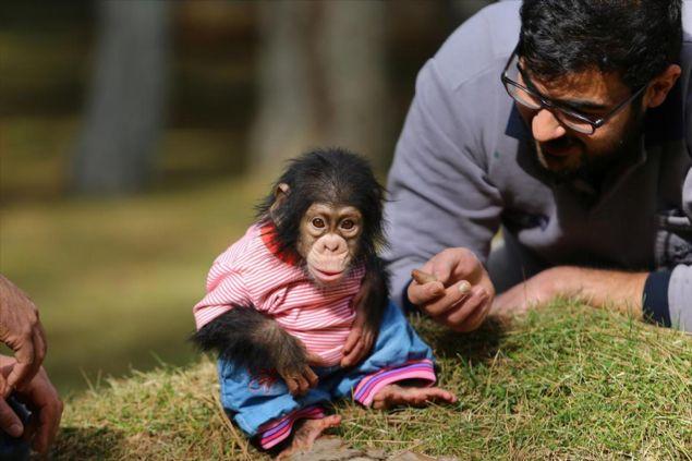 Annesi tarafından bakılmayan şempanzeye, bakıcısı 48 yaşındaki Aslan ilk günden itibaren sahip çıktı.