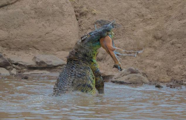 5 metreye yakın timsah yakaladığı antilobu dişleriyle parçalayıp yedi.