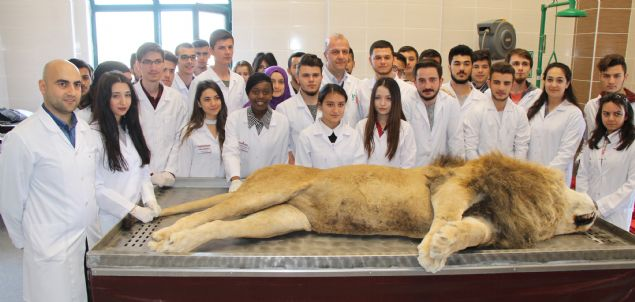 5 yıl önce yıldırım çarpmasıyla birlikte kalp krizi sonucu ölen aslanın kadavrası, Mehmet Akif Üniversitesi (MAKÜ) Veterinerlik Fakültesine bağışlandı. Konuya ilişkin açıklama yapan MAKÜ Veteriner Fakültesi Anabilim Dalı Başkanı Prof. Dr. Özcan Özgel, 'Fakültemize ilk defa böyle bir aslan geliyor. O yüzden öğrencilerimizle birlikte meraklıyız. Öncelikle organlarının incelenmesi ve kemiklerinin çıkarılarak iskelet olarak değerlendirilmesini düşünüyoruz' ifadesini kullandı.