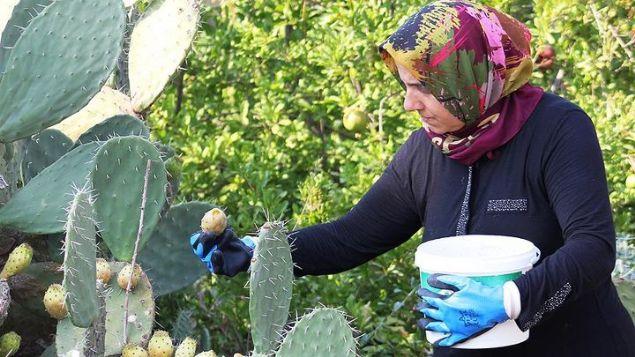 Çukurova yöresinde yaklaşık 10 gün önce hasadına başlanan dikenli incire gösterilen ilgi ve kilogramının 3 liradan alıcı bulması çiftçileri memnun ediyor.
