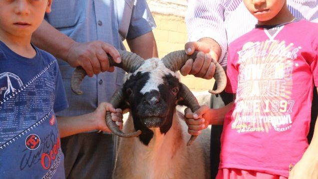 Gaziantep'te dört boynuzu olan koyun görenleri şaşırtıyor. Sahibi ise koyununu otomobille takas edeceğini söylüyor.