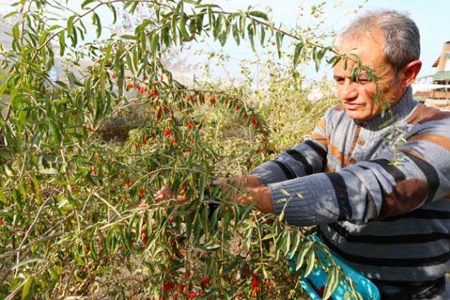 Aksaray'da köyüne giden Mehmet Çekil ve kardeşi hobi olarak goji berry yetiştirdi. Yoğun talep karşısında şaşkına dönen iki kardeş şimdilerde ise goji berry telabini yetiştirmekte zorlanıyorlar. İşte iki kardeşin başarı hikayesi ve goji berry yetiştiriciliği...