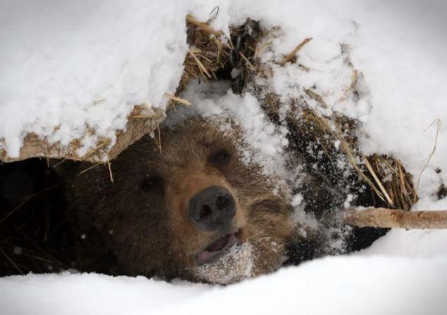 Rusya'da çılgın bir genç ayının yer altındaki yuvasını merak edip içine girdi.