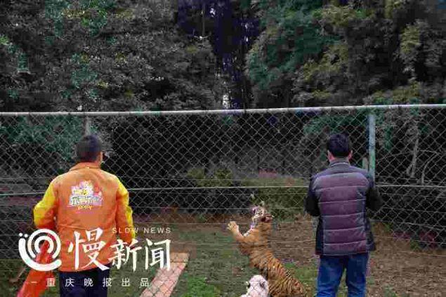 Çin'in güney batısında yer alan Loca Joy Holiday Theme Park'ındaki kaplan parkında geçtiğimiz cumartesi ilginç bir olay yaşandı.