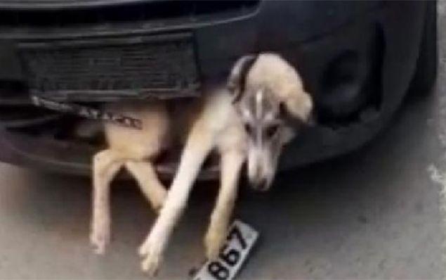 34 FD 4867 plakalı bir araç Edirne istikametinde seyir halinde... Dakikalar öncesinde de bir köpeğe çarpmış. Ama sürücü, köpeğin ön tampona sıkıştığından habersiz, ilerleyişini sürdürüyor.