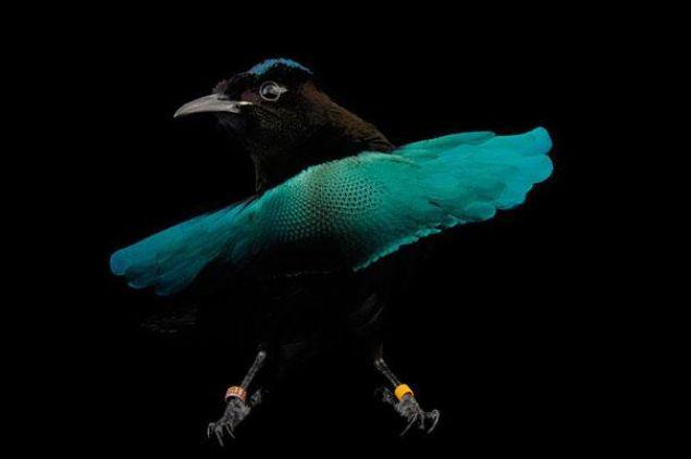 'Kara delik' gibi optik illüzyon yapan kuş