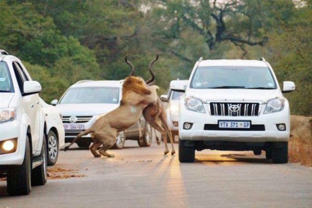 An be an fotoğraflanan aslan avı, 2 milyon hektarlık dev parkın H1 yolunda gerçekleşti.