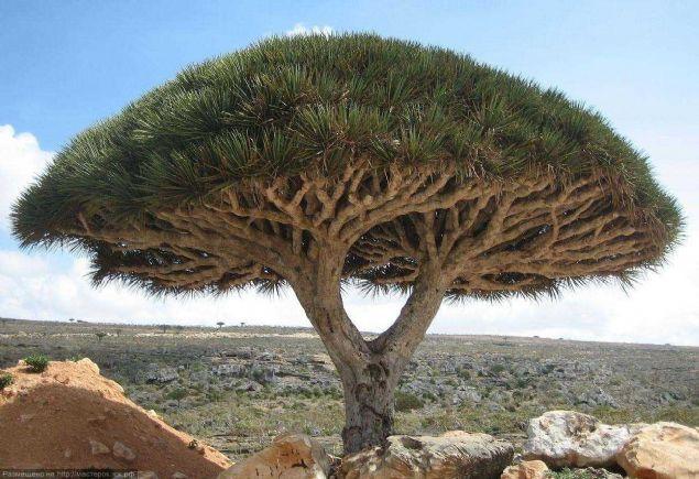 Bu ağaç her derde deva