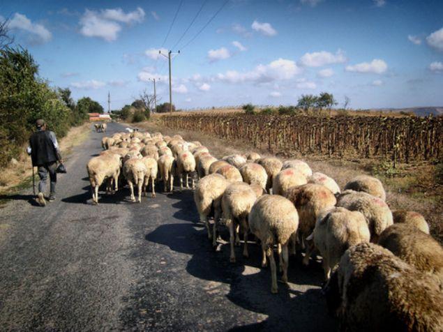 Gıda,Tarım ve Hayvancılık Bakanlığı köyüne dönen çiftçilere 300 koyun ve maaş vereceğini duyurmuştu. Tarım ve hayvancılığı artırmaya yönelik çalışmalar hız kesmeden devam ederken, Bakanlık köyüne dönen çiftçilere 300 koyun ve ve maaş desteği vereceğini açıkladı. Peki başvurular ne zaman nasıl yapılacak? Kimler bu haklardan yararlanacak? Detaylar haberimizde.