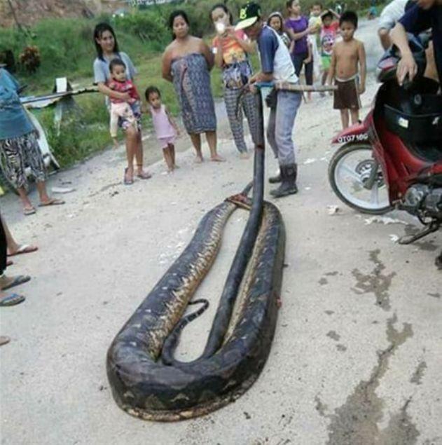 Dev yılanı elleriyle yakaladı