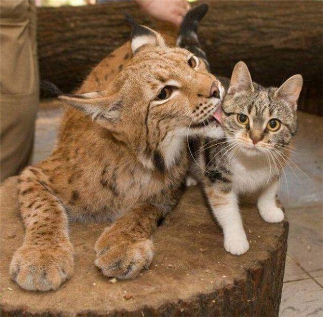 Картинки по запросу рысь и домашняя кошка