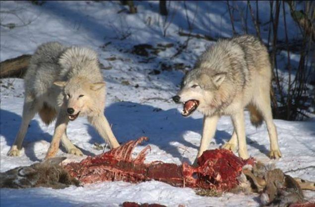 Aç kurtlar hayvanı parçalayıp karınlarını böyle doyurdu