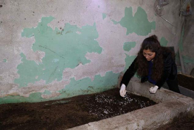 Zonguldak'ta işletme mezunu 24 yaşındaki Nilgün Muslu, evlerinin bodrum katında 'Kaliforniya solucanı' yetiştirip gübre üretiyor. Muslu, 1 sene önce tarımda yüksek verimlilik sağlayan 50 bin Kaliforniya solucanı aldığını, şuanda 500 bin solucan ile üretim yaparak gübre satışına başladığını söyledi.