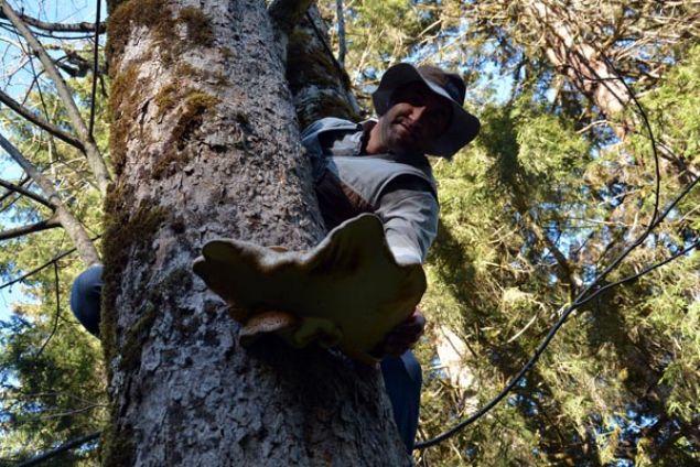 Ordu'nun ormanlarında ağaç gövdesinde yetişen mantarı toplamak isteyenler ayı ile yarışıyor. İlk görenin topladığı mantarlar 5 kilo ağırlığa kadar ulaşabiliyor.