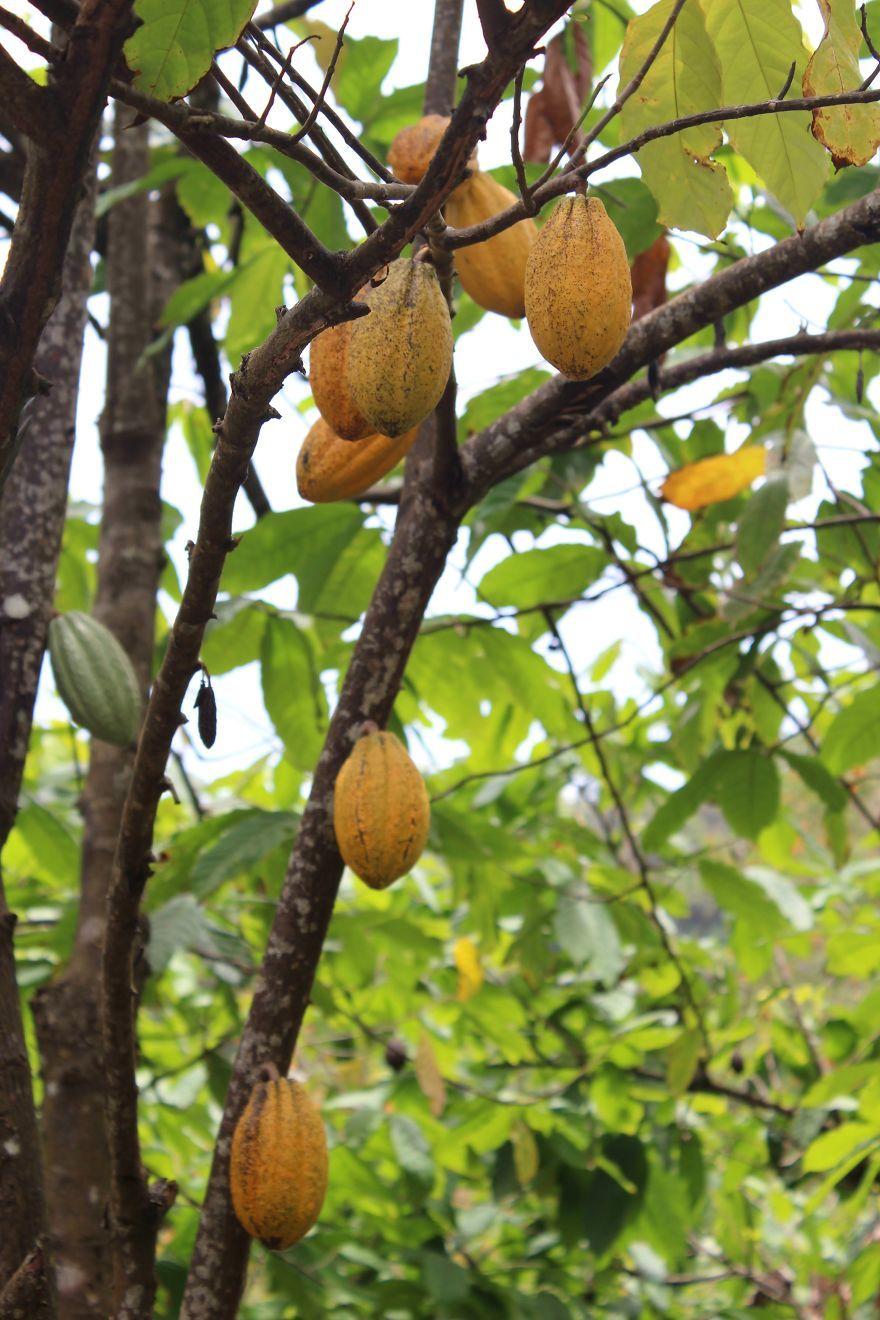Çikolatayı reddetemeyenler için Venezuela'da hasat edilen kakao meyvelerinin nasıl yapıldığına yakından bakmaya değer.