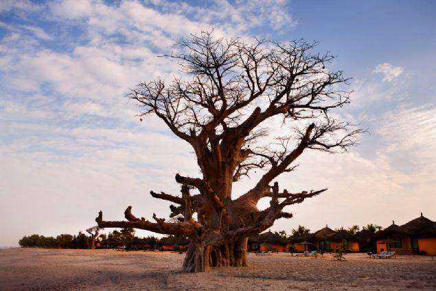 Afrika'nın binlerce yıllık dev baobab ağaçları, gizemli bir şekilde aniden ölmeleri, bilim insanlarını şaşırttı.