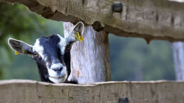 Bir keçi sahibinin 20 bin avrosunu yedi