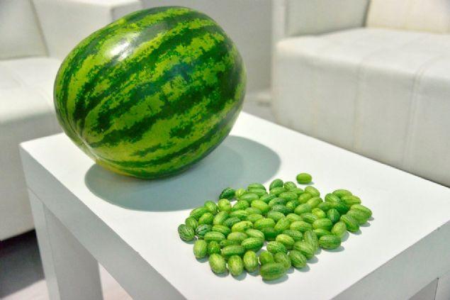 Antalya'da bir tarım firması zeytin büyüklüğünde karpuz üretti.
