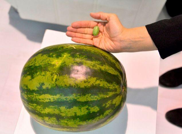 Antalya'da bir tarım firmasının ürettiği zeytin kadar karpuz ilgi gördü.
