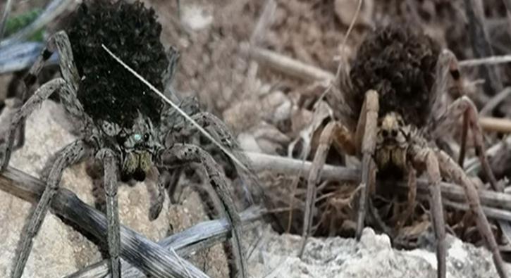 Avını kurt gibi takip ediyor... Tehlikeli tür Türkiye'de görüntülendi