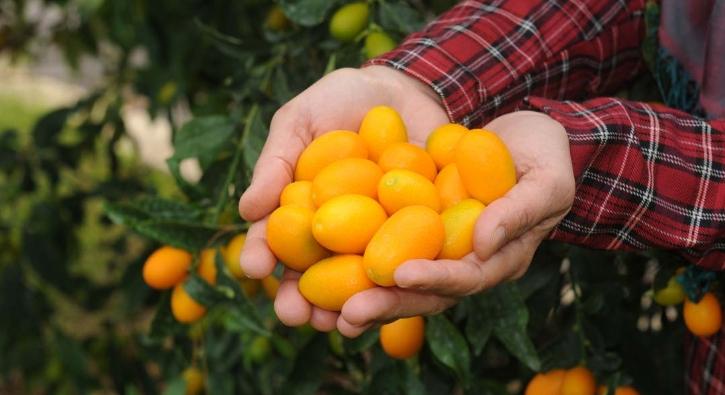 'Altın portakal' deniliyor, kilosu 20 lira