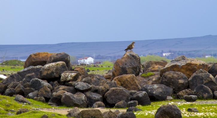 Diyarbakır şahinlere ev sahipliği yapıyor