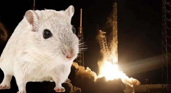 'Süper fareler' uzaya gönderildi!