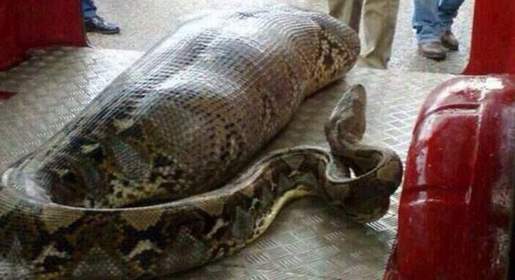 Yılanın karnından erkek cesedi çıkarıldı