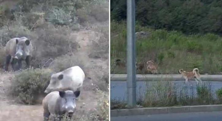 İstanbul'un göbeğine indiler! Sokak köpekleri ile kavga ettiler