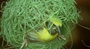 Kuşlar yuvalarını nasıl yapıyor