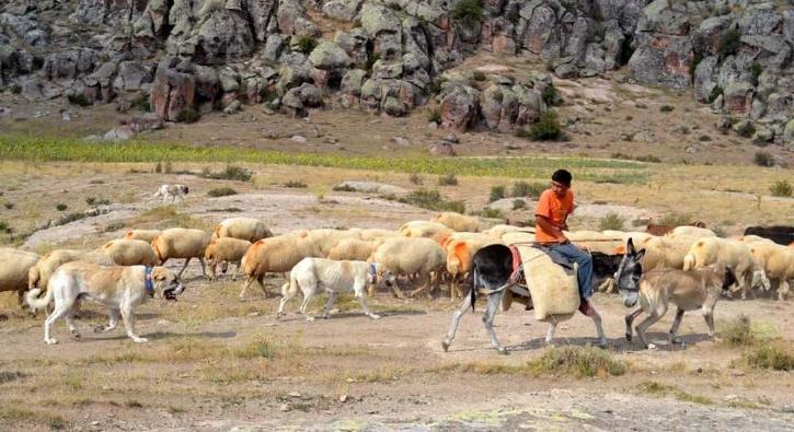 Çin'deki koyunları koruyacak!
