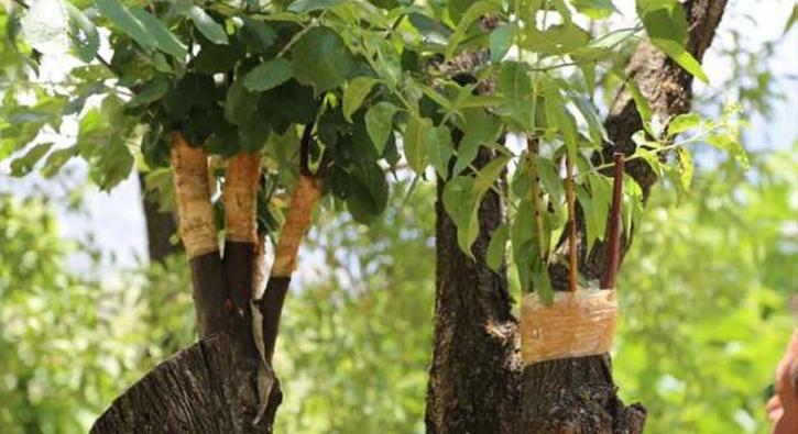 Hiç sulamadı, aynı ağaçta 4 çeşit meyve yetiştirdi