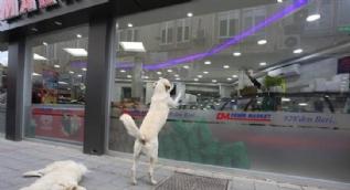 Aç köpekler cama vurup yiyecek istiyor