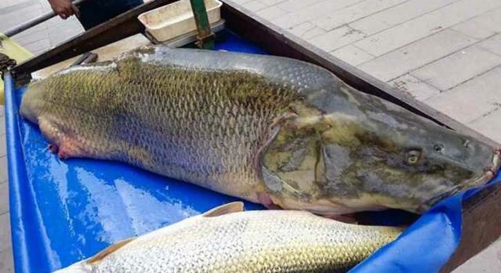 120 kiloluk balık görenleri şaşırttı