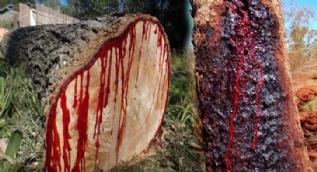 Kan ağlayan bu ağaç her derde deva