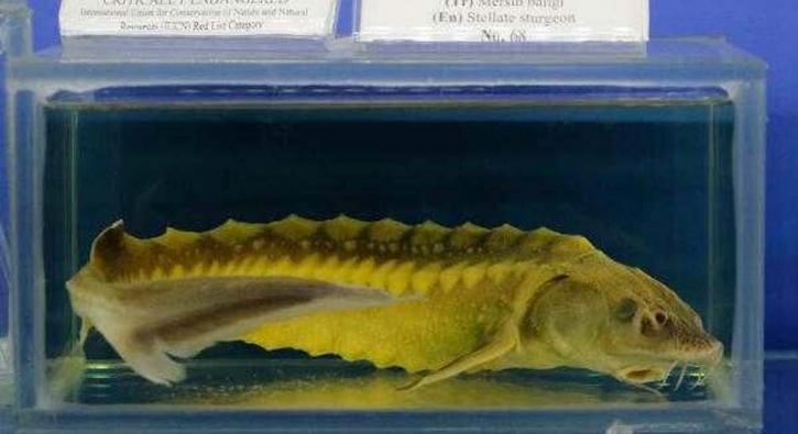 60 milyon yıllık balığın nesli tehdit altında