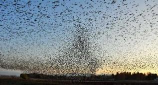 Sığırcık kuşlarından görsel şölen