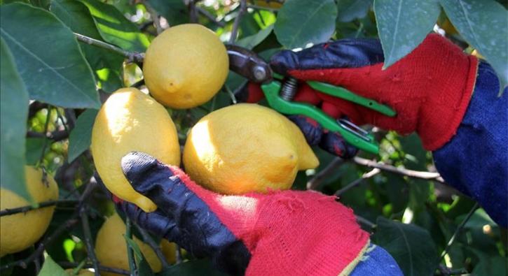 Aşırı yağış limon hasadını geciktirdi