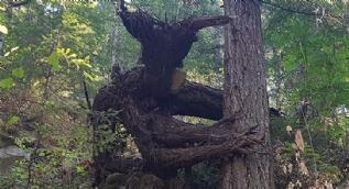 Hayretler içinde bırakan ağaçlar