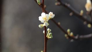 Kış ortasında çiçek açtı, görenleri şaşkına çevirdi