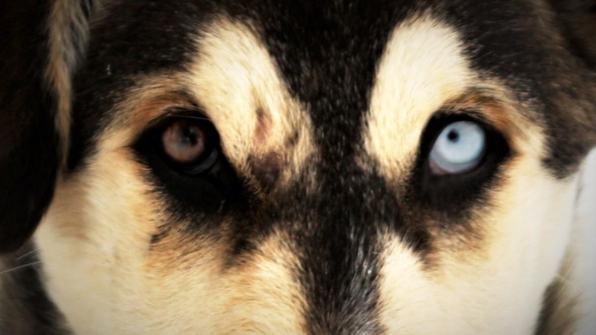 Bu da Van köpeği