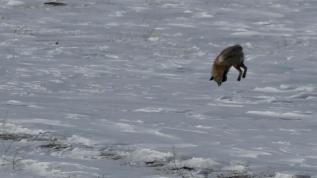 Tilkilerin karla kaplı arazideki avı renkli görüntüler oluşturdu