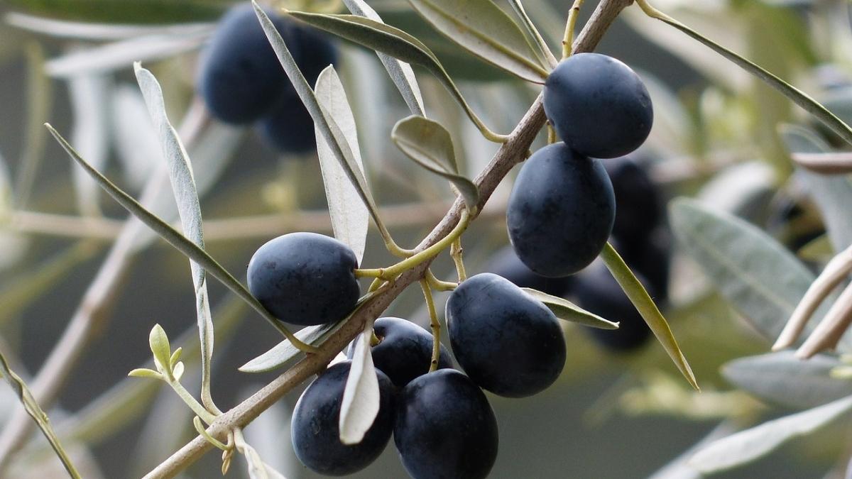 Zeytinin az bilinen mucizevi faydaları
