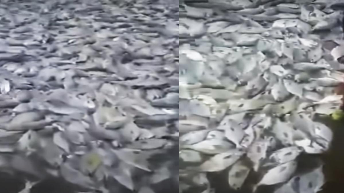 Çekirgeler, yarasalar, böcekler... 2020'nin yeni sürprizi sahili kaplayan balıklar