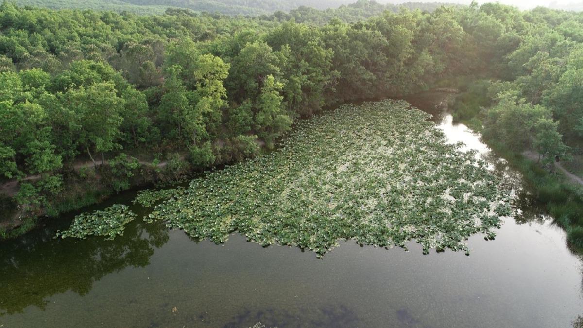 Nilüfer Gölü'nde çiçekler açmaya başladı: Koparmanın cezası 73 bin TL