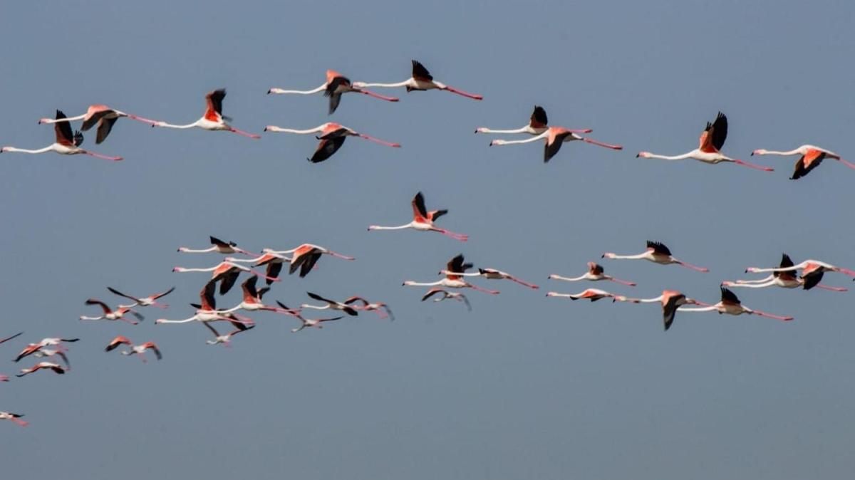 Flamingoların Tuz Gölü yolculuğu