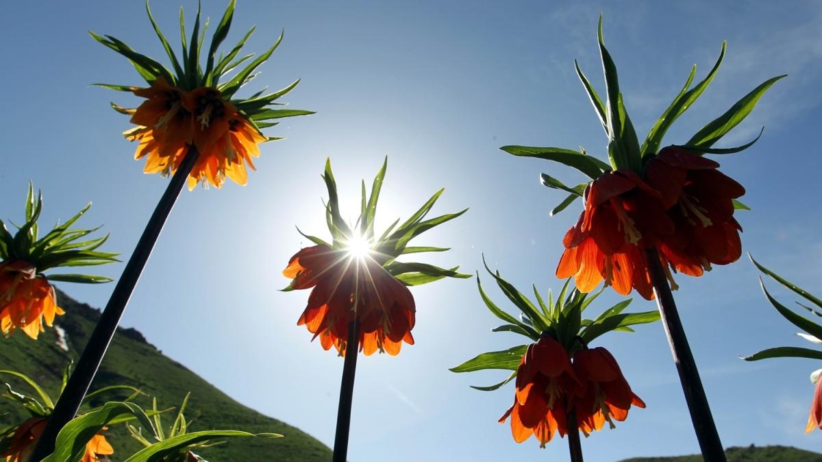 Bu çiçeği görmek için 3 bin rakımlı yaylaya çıkıyorlar