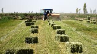 Yerli ve milli tohumla üretiliyor, verimi artırıyor