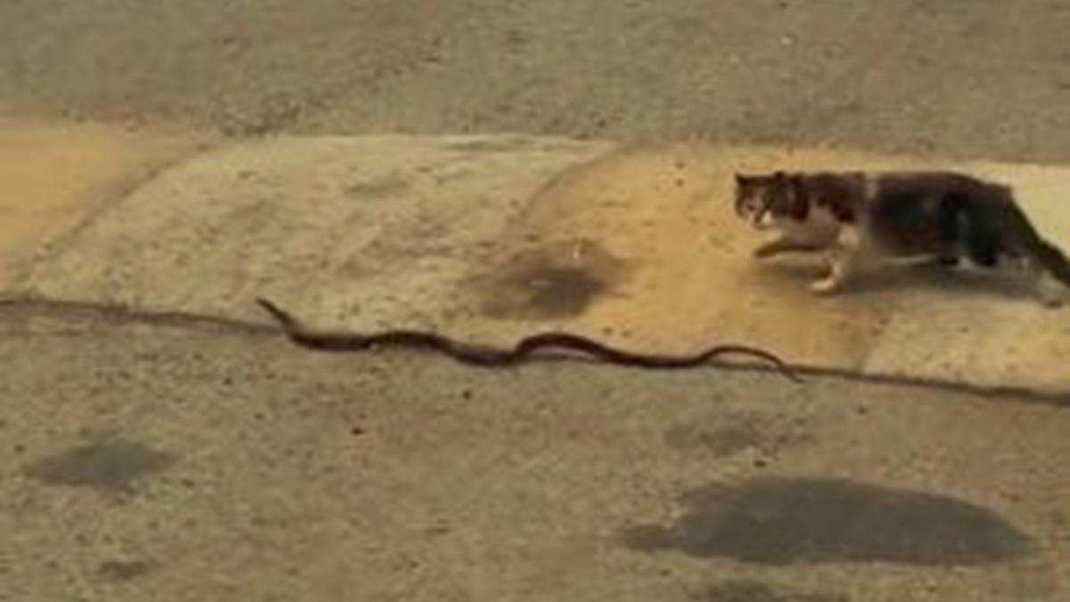 Cesur kedi, kendisinden 3 kat büyük yılana böyle meydan okudu!